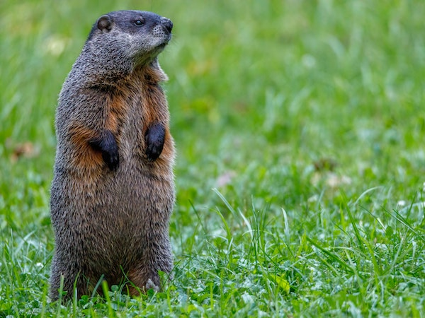 Groundhog in the grass - photo by Aaron J. Hill